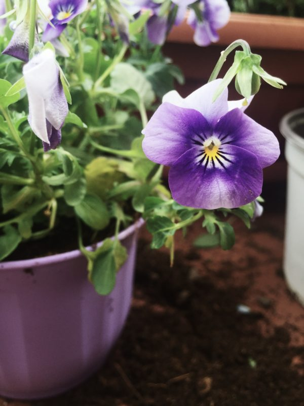 Everyone is cooking with pansies these days. Me too. And I'm also growing them, and researching.