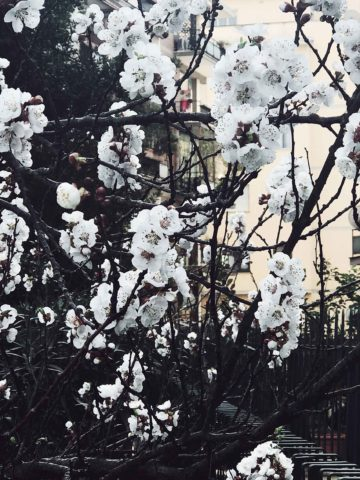 white peach tree flowers in Rome