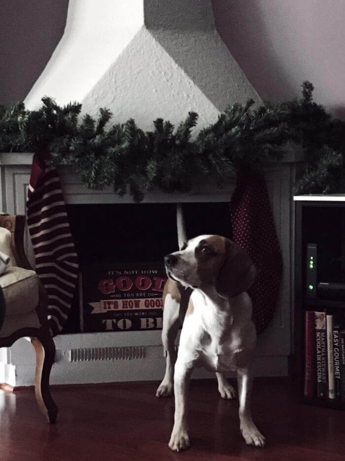 my beagle dog next to my Christmas fireplace