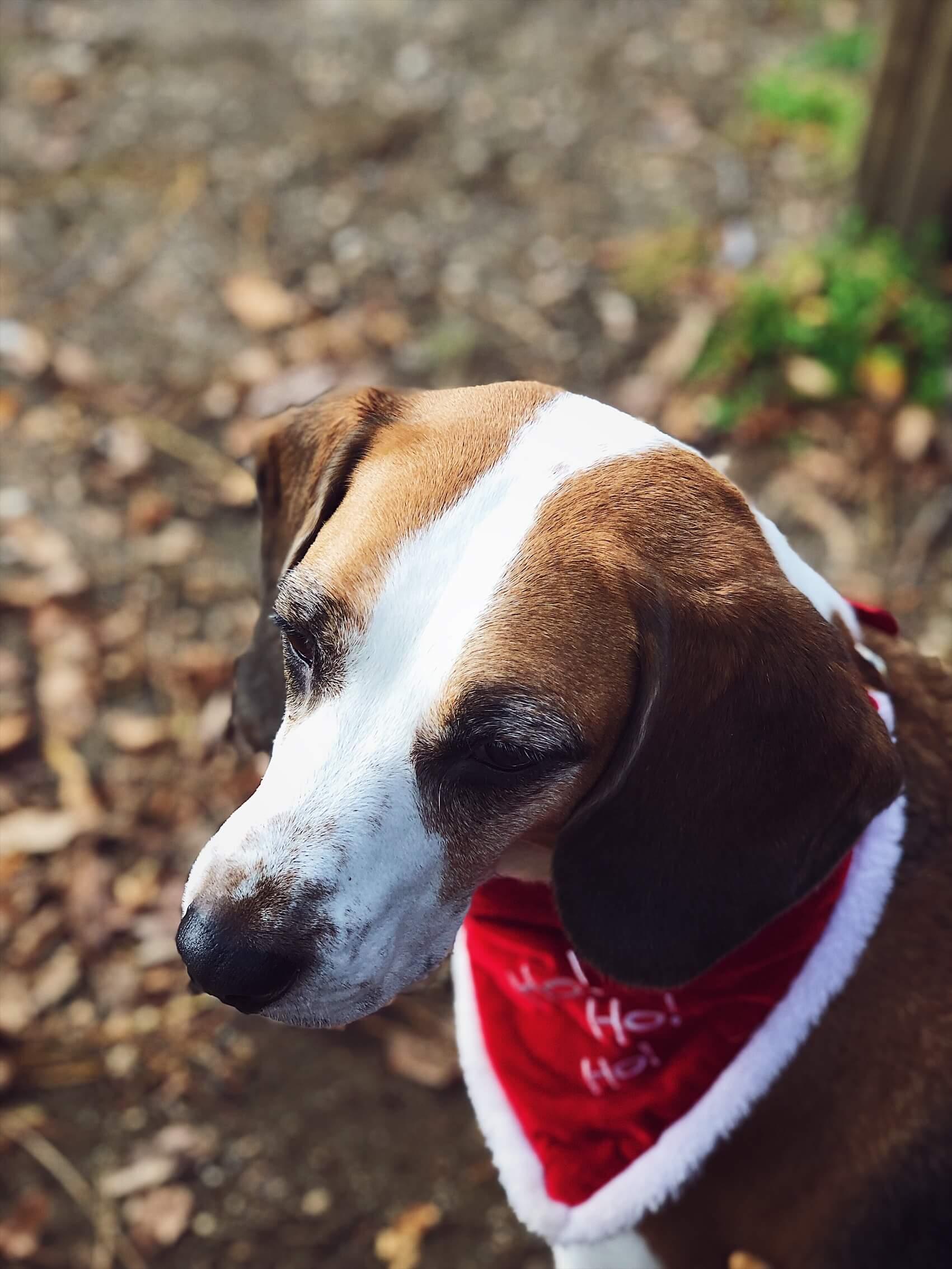 Christmas bandana beagle at the park