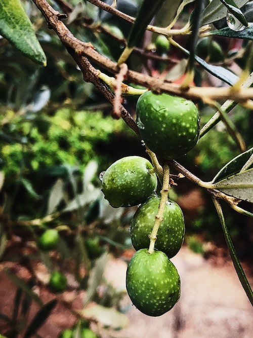 life in Rome: harvesting olives in Maremma
